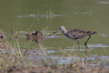 Wood Sandpiper, Carbarns Pond, Clyde