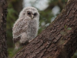 Tawny Owl, RSPB Loch Lomond, Clyde
