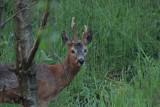 Roe Deer (in the dark), RSPB Loch Lomond