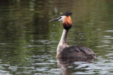 Great Crested Grebe, Endrick Water-RSPB Loch Lomond, Clyde