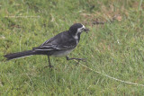 Pied Wagtail, Crail