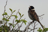 Reed Bunting, Fife Ness