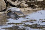 Grey Heron, Balcomie Bay, Fife