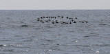Common Scoter flock passing Fife Ness