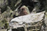 Common Kestrel, Kilpatrick Hills-West Dunbartonshire, Clyde