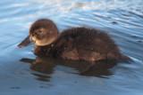 Tufted Duck, Hogganfield Loch-Glasgow, Clyde