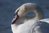 Mute Swan, Hogganfield Loch-Glasgow, Clyde