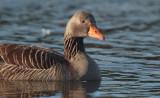 Greylag Goose, Hogganfield Loch-Glasgow, Clyde