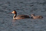 Great Crested Grebe, Hogganfield Loch-Glasgow, Clyde