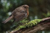 Robin, Ring Wood-RSPB Loch Lomond, Clyde