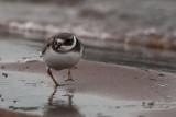Ringed Plover (juvenile), Ring Point-RSPB Loch Lomond, Clyde