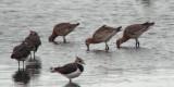 Black-tailed Godwit, RSPB Baron's Haugh, Clyde