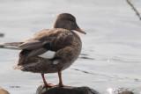 Gadwall (duck), Hogganfield Loch, Glasgow