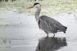 Grey Heron, RSPB Baron's Haugh, Clyde