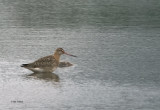 Black-tailed Godwit, Carbarns Pond, Clyde
