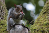 Grey Squirrel, Dalzell Woods, Motherwell