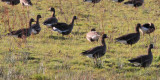 Greenland White-fronted Goose, Croftamie, Clyde