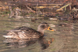 Mallard duck, RSPB Baron's Haugh, Clyde