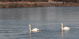 Mute Swan, Hogganfield Loch, Glasgow