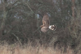 Hen Harrier, Loch Lomond NNR, Clyde