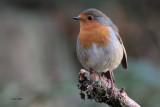 Robin, Aberfoyle, Upper Forth