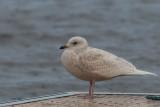 Iceland Gull (1st winter), Strathclyde Loch, Clyde