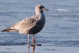 Herring Gull, Strathclyde Loch, Clyde