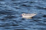 Mediterranean Gull, Cardwell Bay-Gourock, Clyde