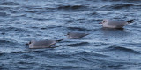 Little & Black-headed Gull, Cardwell Bay-Gourock, Clyde