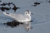 Little Gull, Cardwell Bay-Gourock, Clyde