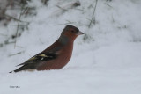 Chaffinch, Cornalees, Clyde