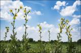 Wlid Sunflowers
