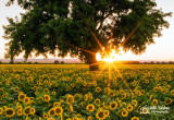 Sacramento Valley Sunflowers