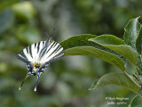 SCARCE SWALLOWTAIL - IPHICLIDES PODALIRIUS - FLAMBE