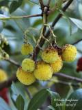 661-Strawberry tree - Arbustus unedo - Arbousier