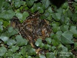 689-Hedgehog-winter-nest