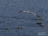 Grey Heron (Ardea cinerea) and Western Great Egret (Ardea alba)