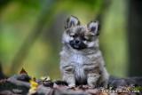 Pomsky puppies