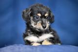 Male Poodle Miniature Pinscher puppies $500