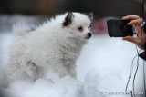 Male Pomsky puppy $1,500