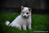 White Female Pomsky puppy Ivory