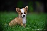 Female Teacup Pomeranian Chihuahua