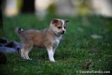 Small grey male Pomsky puppy