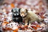 SMALL Pomsky puppies
