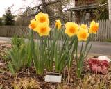 Daffodils 7017 copy.jpg