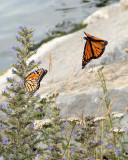 Monarch Butterfly 8124 copy.jpg