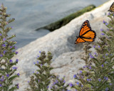 Monarch Butterfly 8127 copy.jpg
