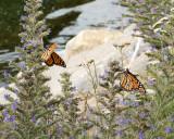 Monarch Butterflys 8121 copy.jpg
