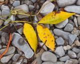 Leaf Peeping 8505 copy.jpg