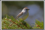 BRUANT FAMILIER  /  CHIPPING SPARROW   _MG_9714 aa